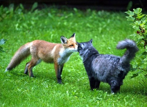 Cats cute foxes kissing