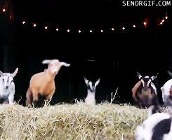 Goat Thrashes Hard