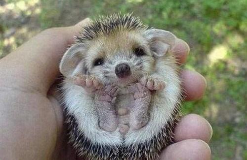 cute hedgehog tickle - 8241553664