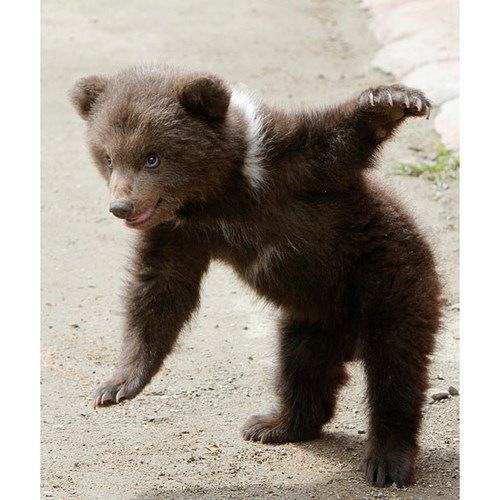 cute bears flexible cubs stretching - 8241555968