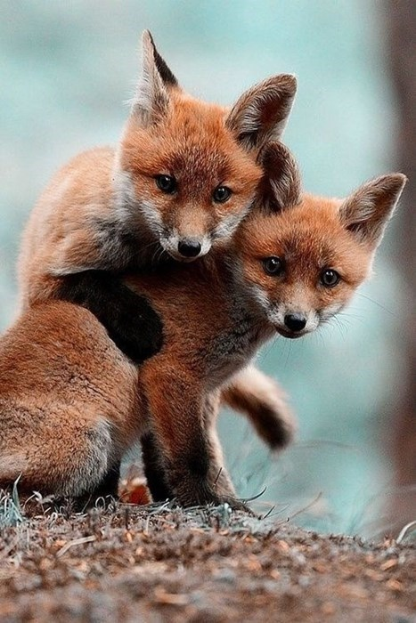 cute foxes squee - 8242721792