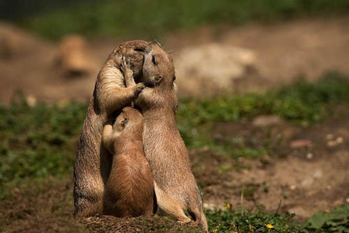 cute family gophers love