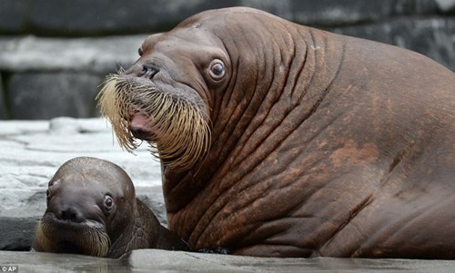 baby,cute,squee,walrus