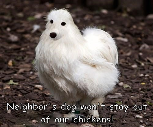 dogs chickens weird - 8243038464