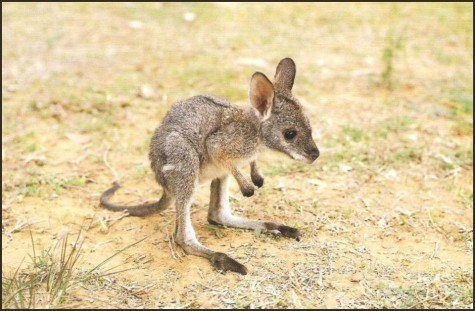 cute Joey kangaroo - 8244025600