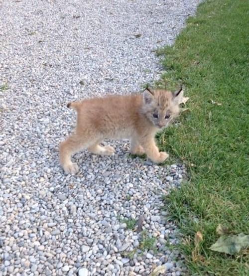 Ais Jus a Baby Lynx!