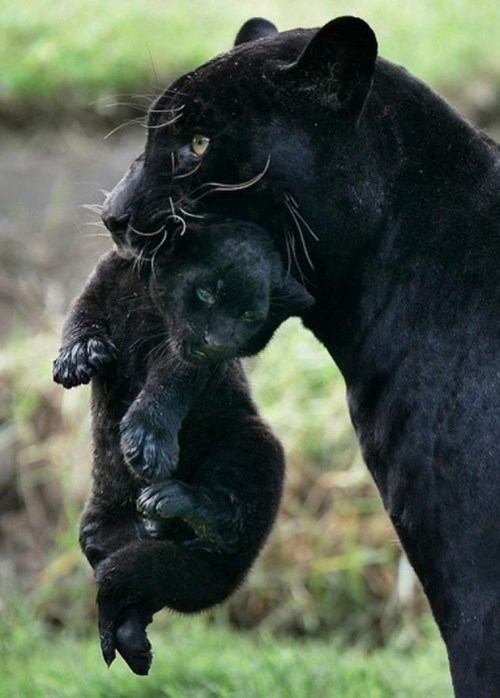 Babies,cute,panthers,mama