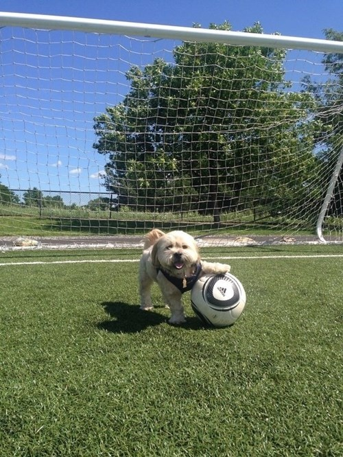 cute dogs soccer - 8244046080