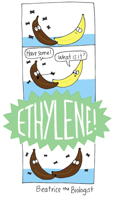 banana funny science ethylene - 8247021312