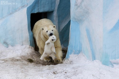 cute polar bears - 8247268096