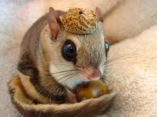 acorn,cute,hat,squee,squirrel