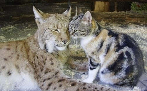 Cats cute love lynx squee - 8247857664