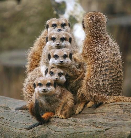 meerkat cute family - 8248086016