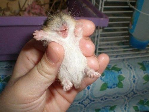 tickle cute hamster squee - 8249108992