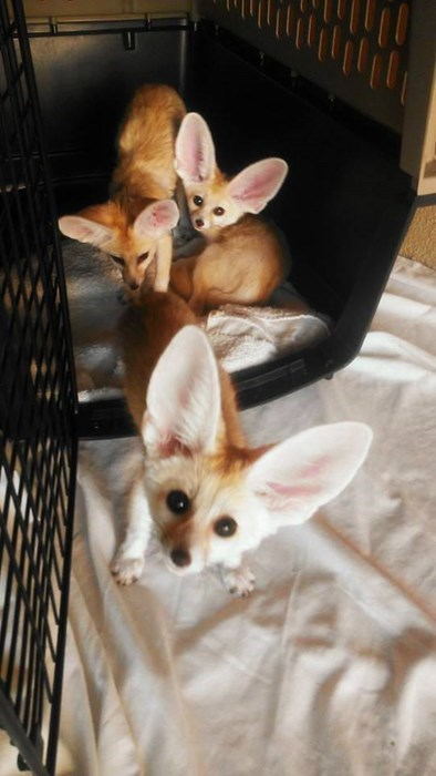 fennec fox bears cute squee - 8249114624