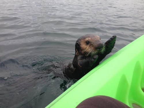 cute kayaking otters squee