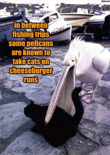 in between fishing trips some pelicans are known to take cats on cheeseburger runs