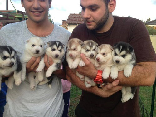 cute huskies puppies squee - 8251097088