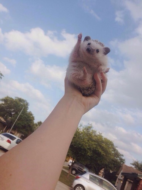 cute hedgehog flying - 8251099136