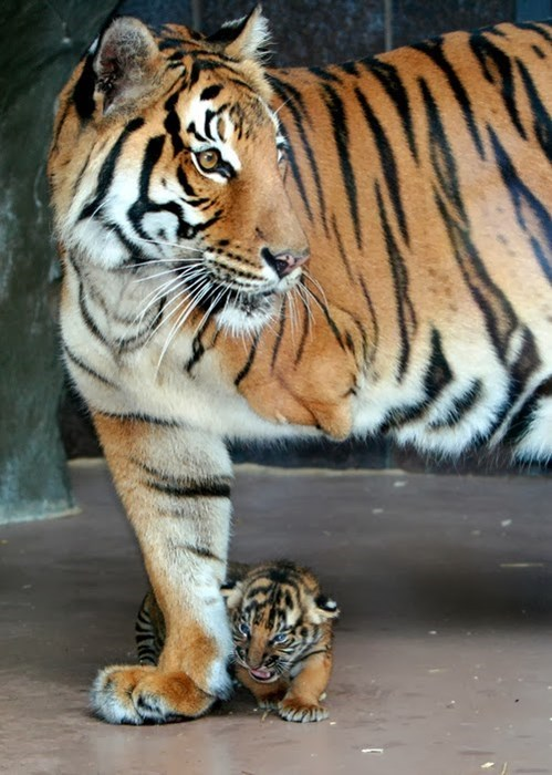 cute,cubs,mom,tigers