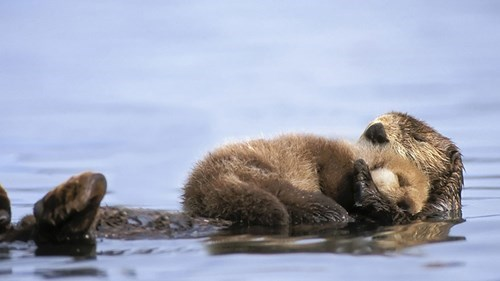 cute swimming otters napping squee - 8252265472