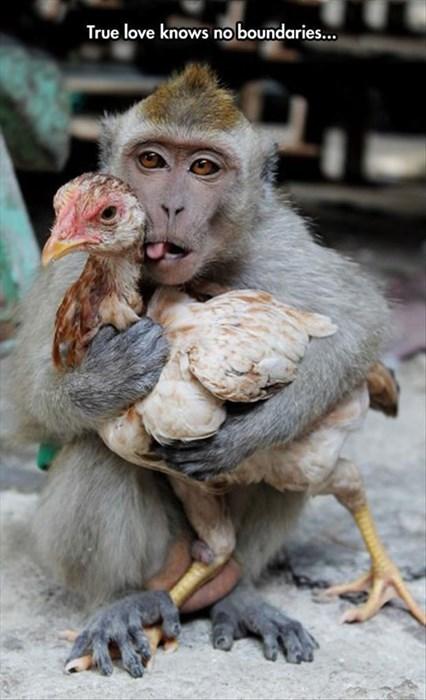funny chickens monkeys - 8252390656