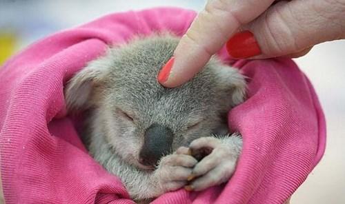 Babies cute koala - 8252414208