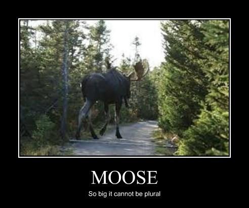 funny moose plural - 8253763840