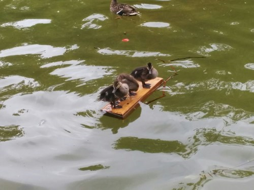 cute ducks ducklings swimming - 8254279936
