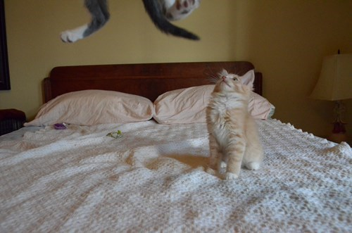 Cats,cute,jump,flying,kitten