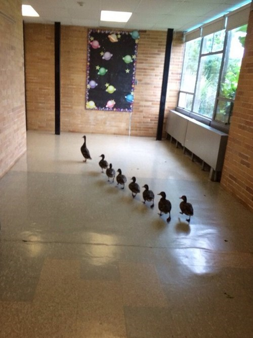 ducks,ducklings,kids,school,parenting,g rated