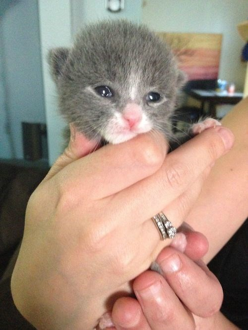 cute kitten tiny squee - 8255443456