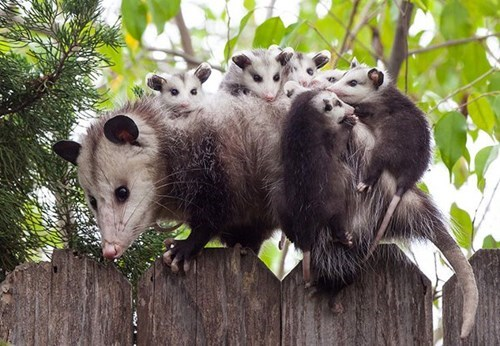 Babies,cute,possums,squee,mama