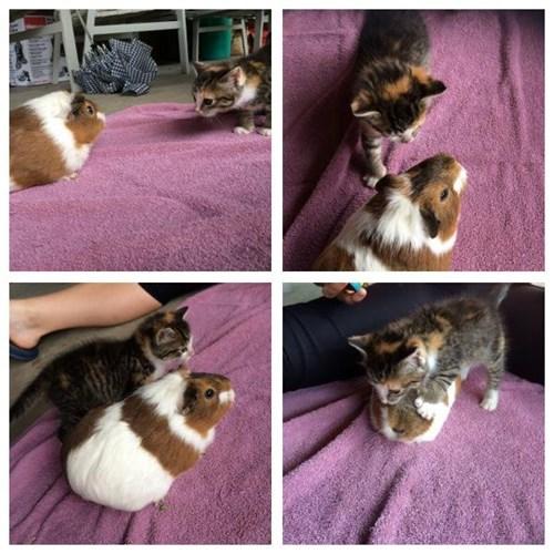 cute kitten guinea pig squee - 8257636608