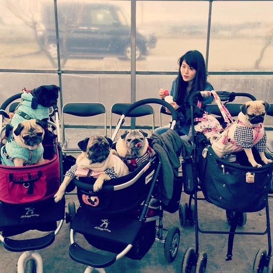 Pug dogs in a baby stroller