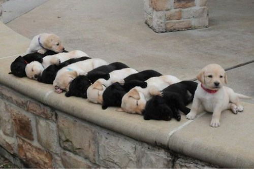cute,puppies,labrador
