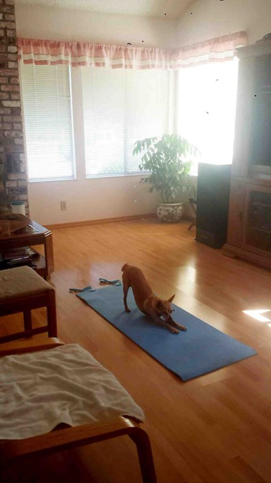 dogs,yoga