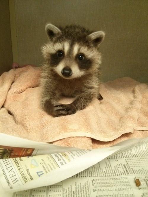 Babies cute raccoons - 8259721216