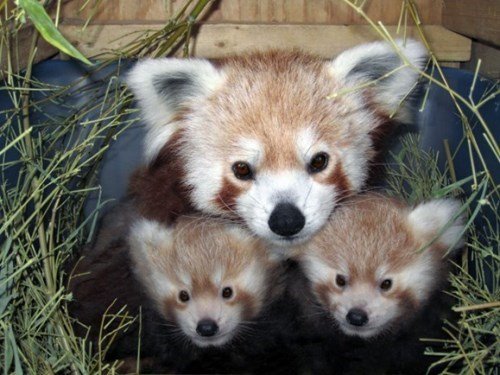 cute,family,red panda,mama
