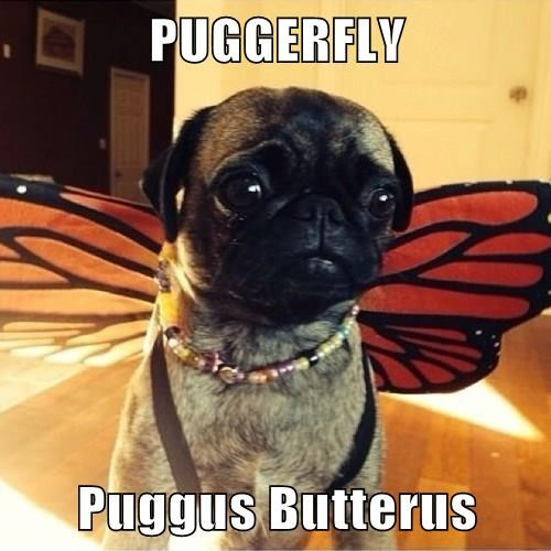 dogs butterfly funny pugs - 8262050048
