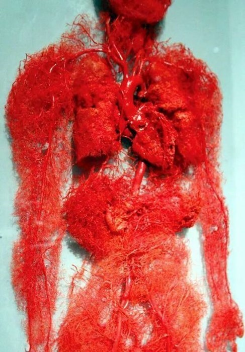 awesome beautiful circulatory system science