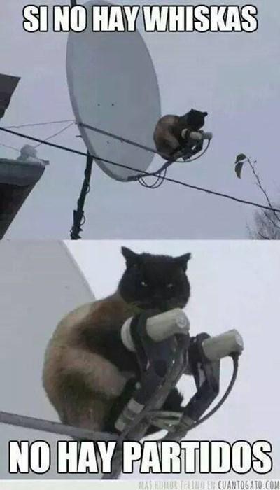 Memes animales gatos bromas - 8263095296