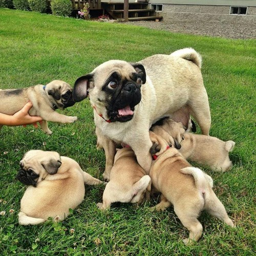 dogs kids pug feeding puppy overwhelmed parenting