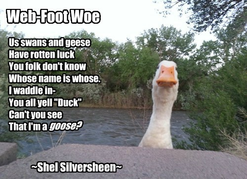 """Us swans and geese Have rotten luck You folk don't know Whose name is whose. I waddle in- You all yell """"Duck"""" Can't you see That I'm a goose? ~Shel Silversheen~ Web-Foot Woe"""