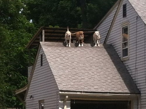 dogs,weird,roof