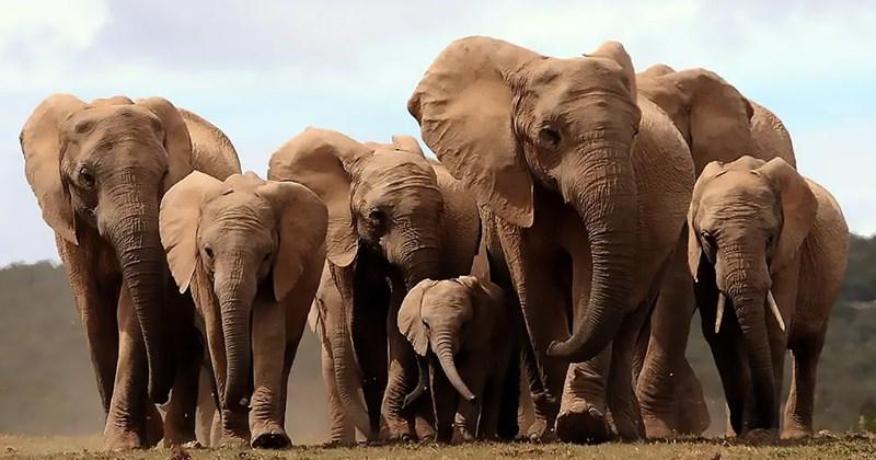 elephants tuskless tusks - 8265221