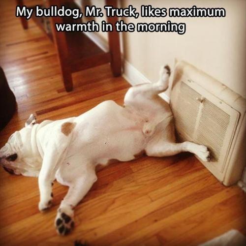 bulldog dogs theater warm - 8265288704