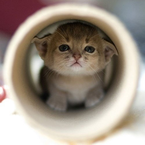 cute,hiding,kitten,toilet paper