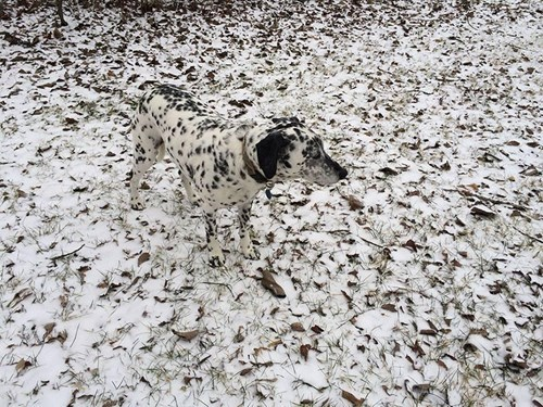 dalmatian camouflage dogs spots - 8266480640