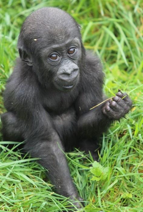 baby,cute,gorilla